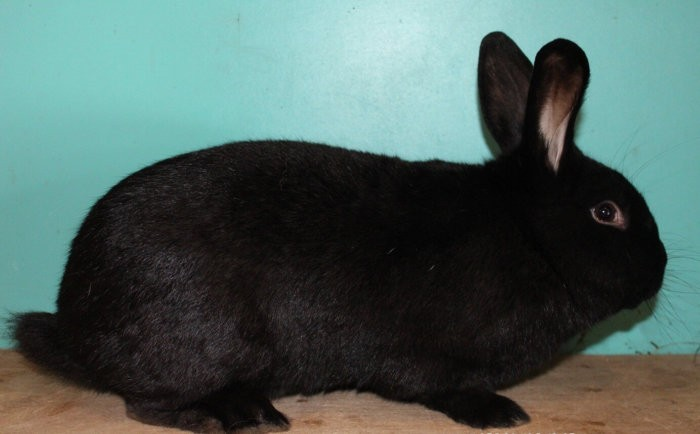 Кролик с коготками черного цвета