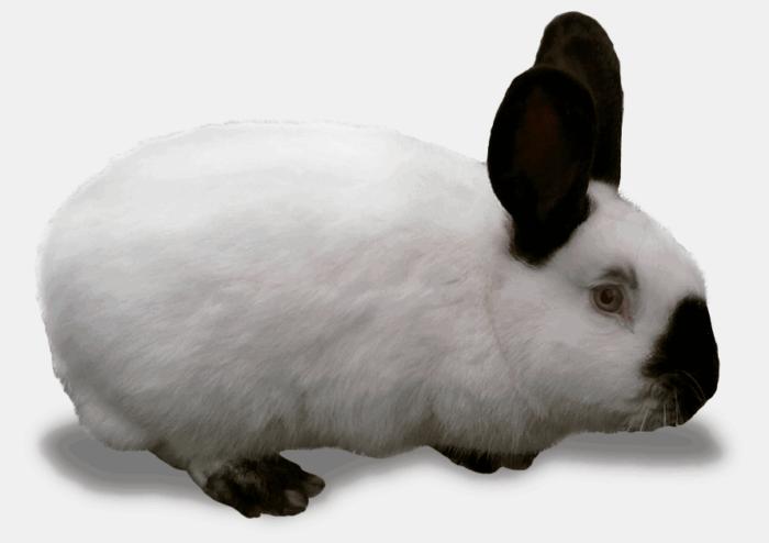 Кроля-производителя можно закупить в другом хозяйстве