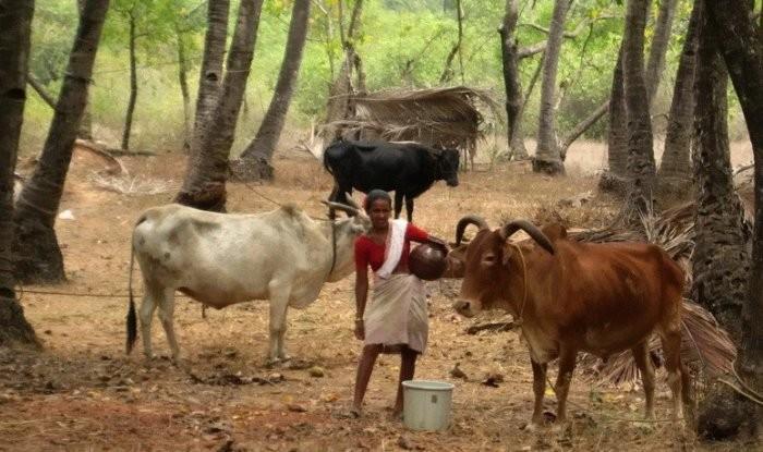 Традиционно в Индии зебу разводят для получения молока