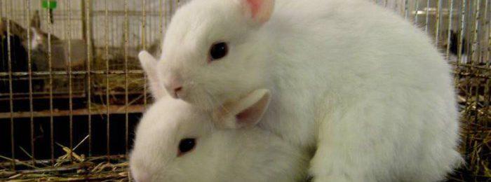 Спаривание крольчихи со стерилизованным самцом