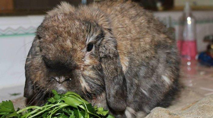 Пастереллез для кролика