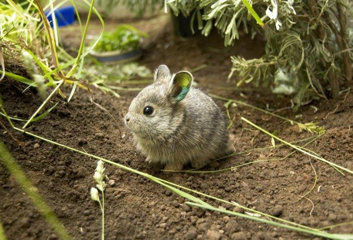 Кролику-пигмею нужны прогулки на свежем воздухе