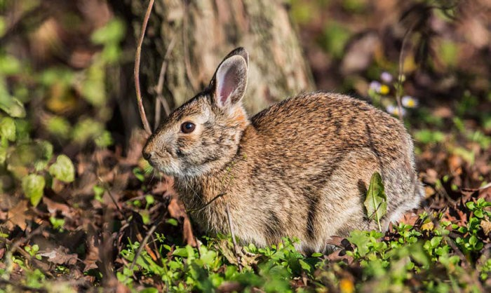 Европейский кролик обитает везде, где нет суровых зим
