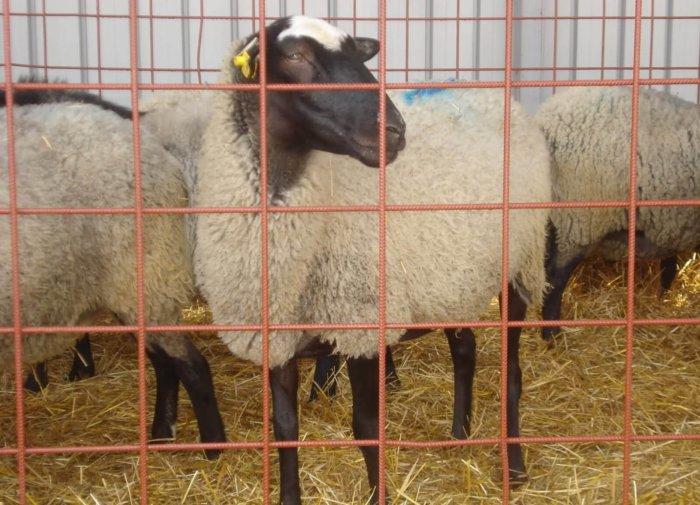 При отравлении овца становится вялой и апатичной