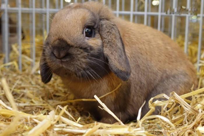 Порода кролика карликовый баран