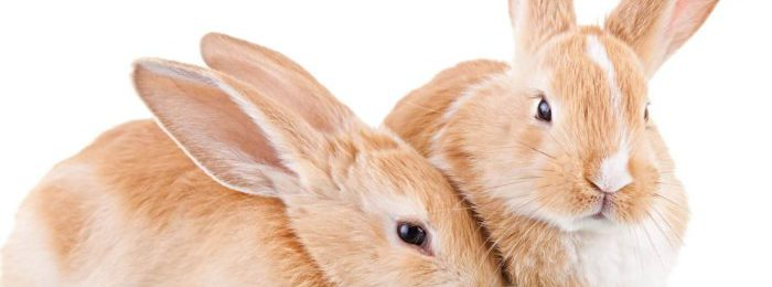 Крольчиха игнорирует самца