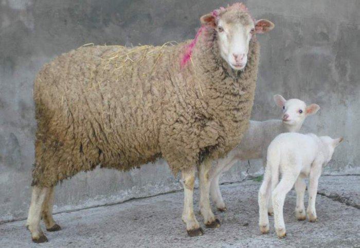 Асканийская порода овец