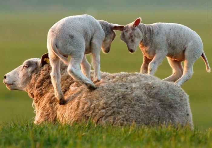 Овца с потомством