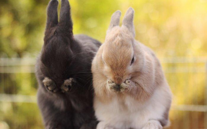 Кролики для спаривания