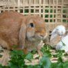 Поголовье крольчат