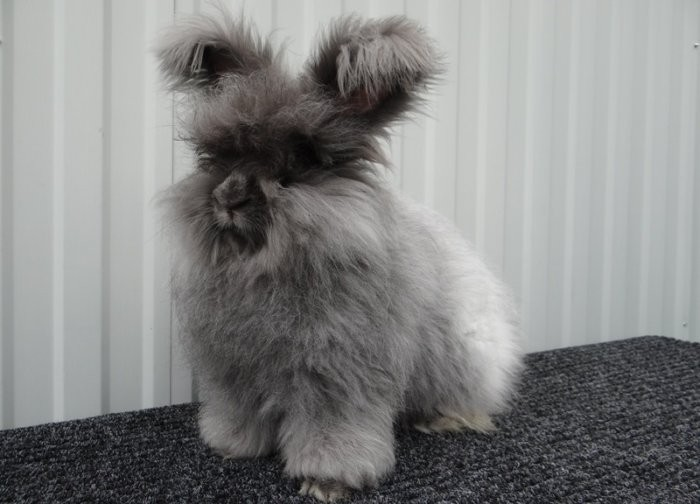 Кролик пуховой породы