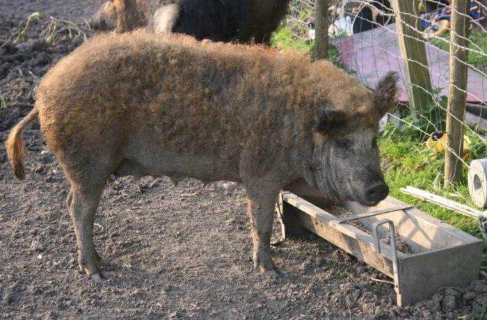 Свинья мангалица