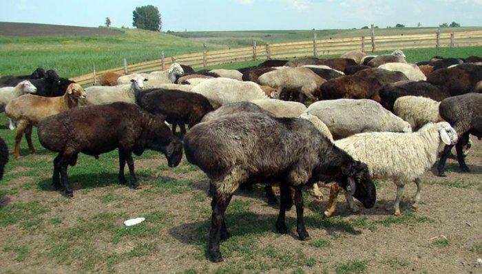 Курдючные овцы нетребовательны к условиям содержания