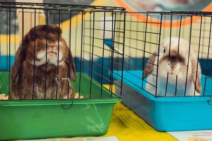 Карликовые кролики перед спариванием