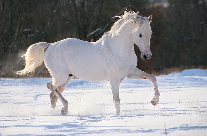 Терский конь характерного типа