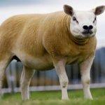 Современные овцы тексель