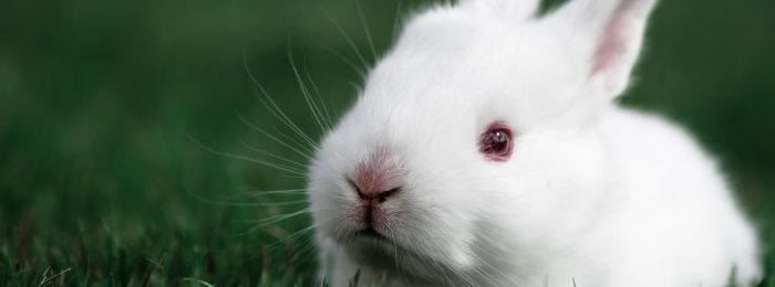 Кролик белого цвета ценится выше