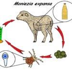Цикл развития мониезиоза