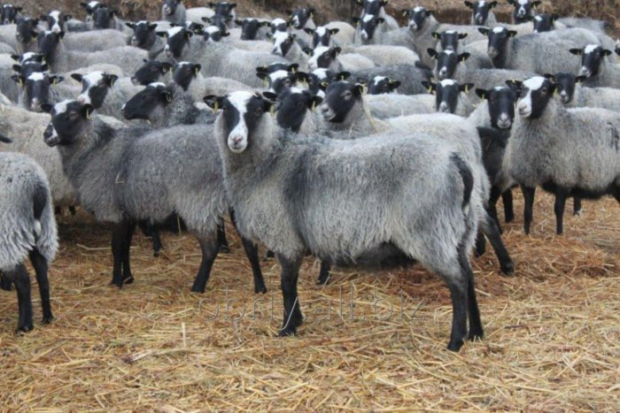 Внешние характеристики романовской породы овец