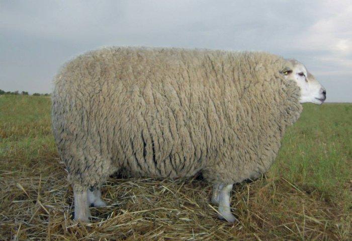 Ташлинская порода овец