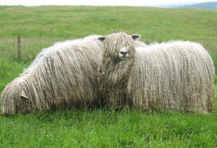 Овцы линкольн