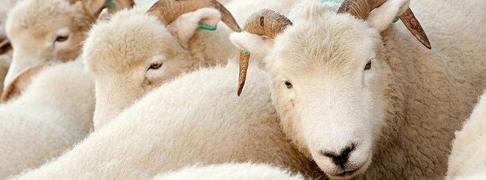 Белые овцы