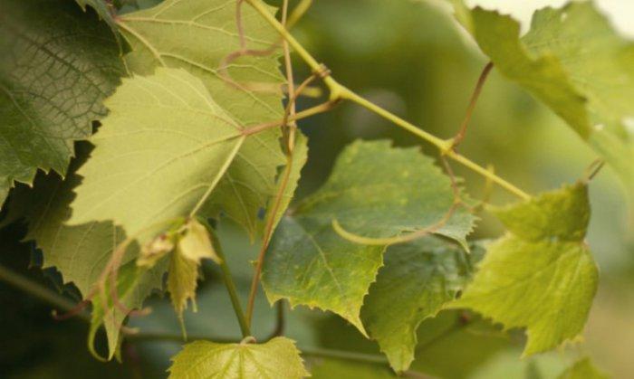 В пищу кроликам годятся листья и лоза винограда