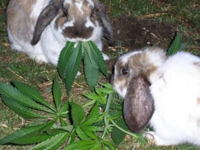 Каннабис для кроликов