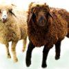 Каракульская порода овец