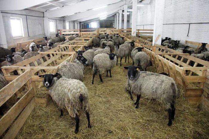 Содержание овец в стойле