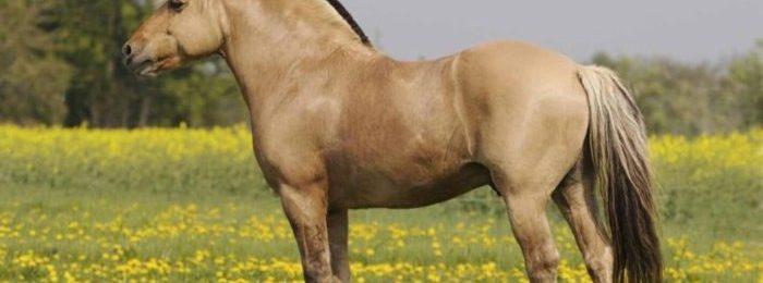 Лошадь породы Фьорд