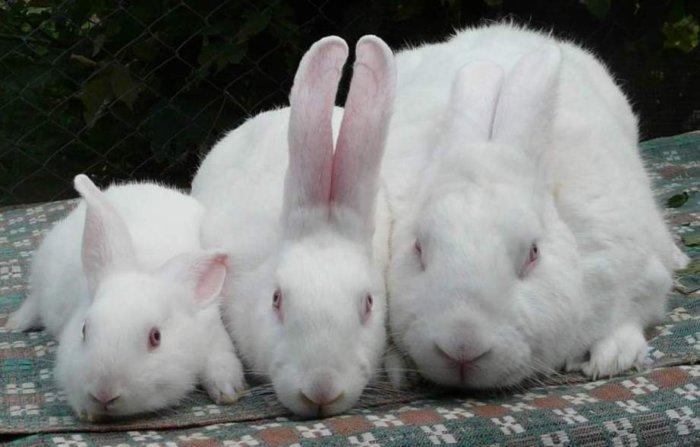 Кролики бройлерных пород