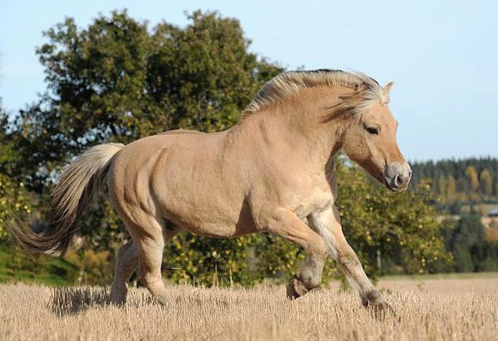 Фьорды – невысокие лошадки