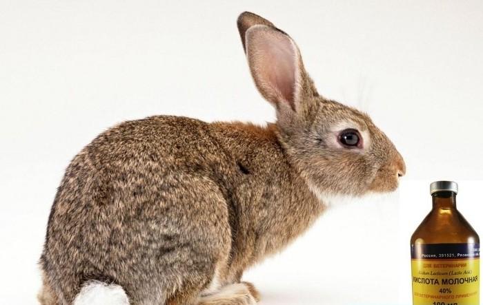 Кролик и молочная кислота