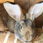 Кролик породы ризен