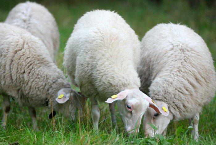 Овцы восточно-фризской породы