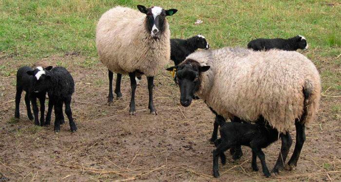 Овцематки способны приносить до 3 приплодов за 2 года