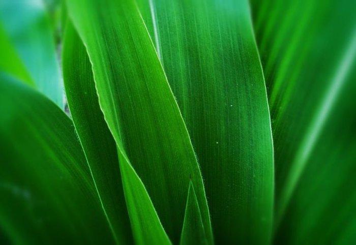 Кукурузные листья