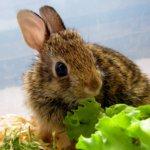 Кролик ест салат