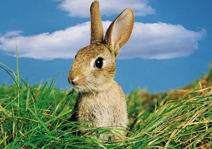 Кормить кроликов иван-чаем можно с 2,5-3 месяцев