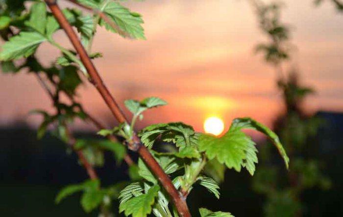 Ветки малины можно давать без ограничений