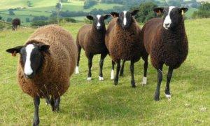 Внешность у овец цвартблес запоминающаяся