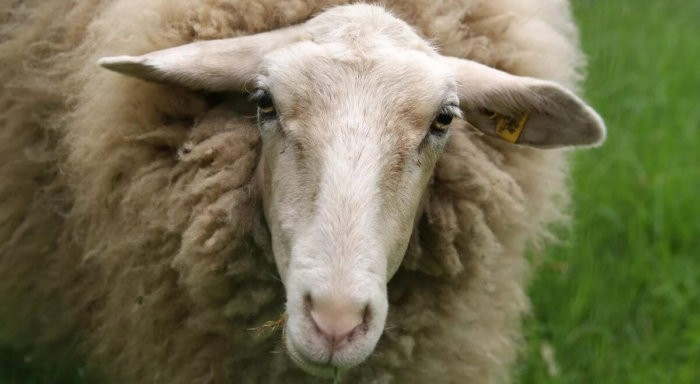 Истощение у овцы