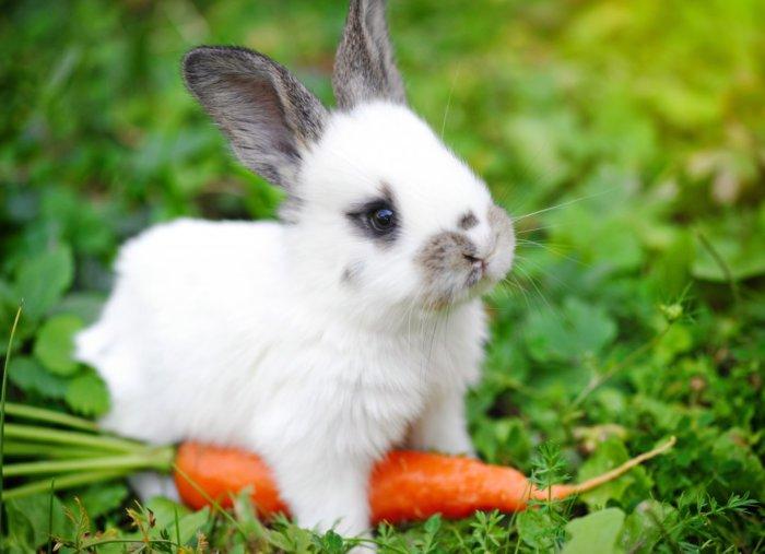 Основой питания кролика должна быть твердая пища