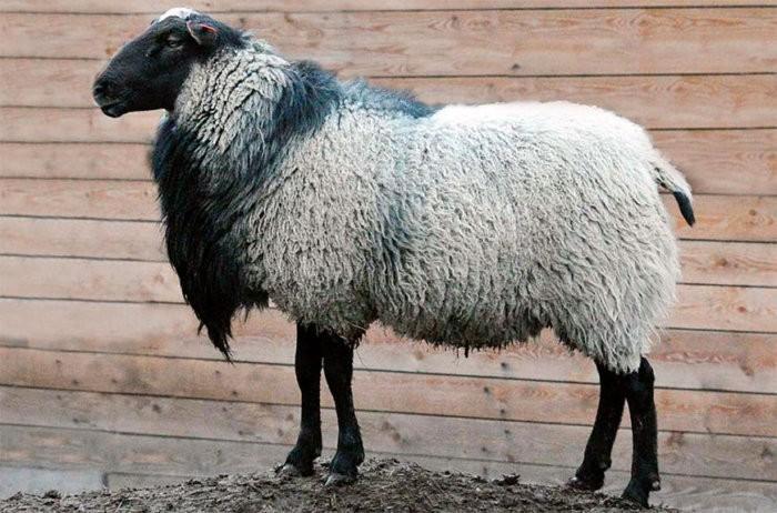 Романовская овца