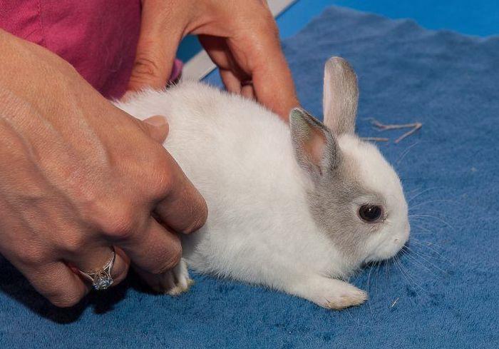 Дисбактериоз у кролика