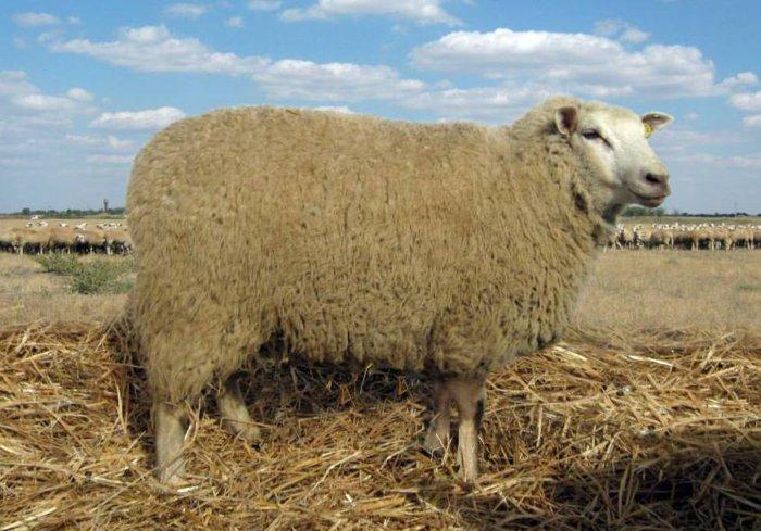 Шерсть этих животных относится к кроссбредному типу