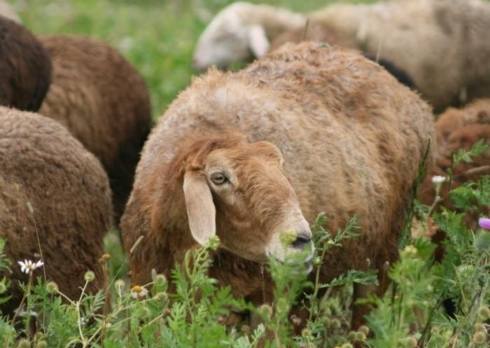 Самые крупные овцы