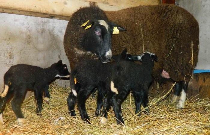 Овцы цвартблес плодовиты