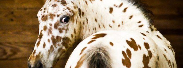 Чубарая лошадь